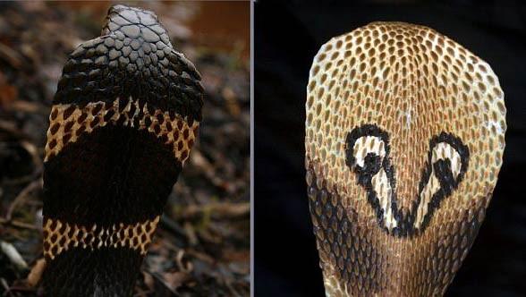 Kobra indyjska, okularnik indyjski (Naja naja)
