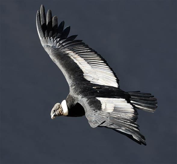 Kondor wielki, olbrzymi (Vultur gryphus)