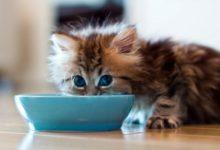 Photo of Kot amerykański curl długowłosy i krótkowłosy