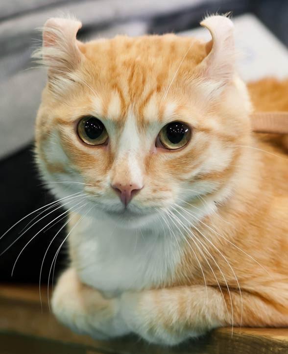 Kot amerykański curl