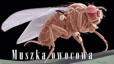 Photo of Muszka owocowa (Drosophila melanogaster)