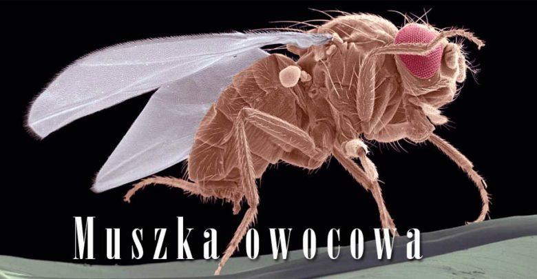 Photo of Muszka owocowa (Drosophila melanogaster)