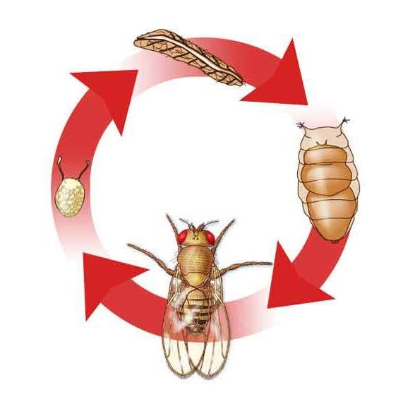 Muszka owocowa, wywilżna karłowata (Drosophila melanogaster).