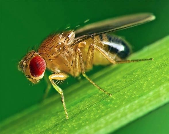Muszka owocowa, wywilżna karłowata (Drosophila melanogaster)