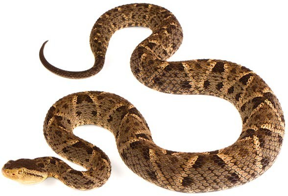 Terciopelo (Bothrops asper)