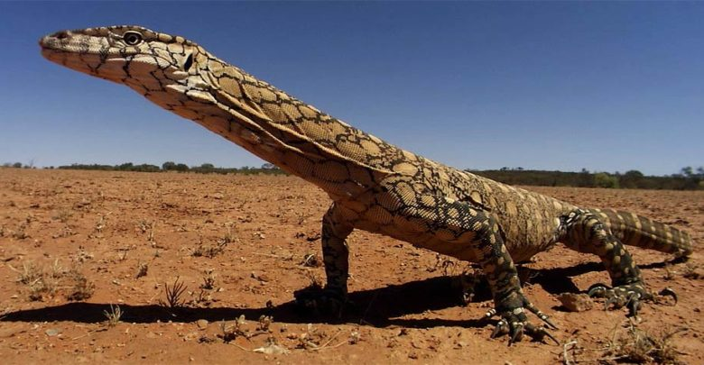 Photo of Waran wielki (Varanus giganteus) – największa jaszczurka Australii