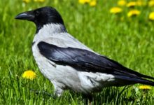 Photo of Wrona siwa (Corvus cornix)
