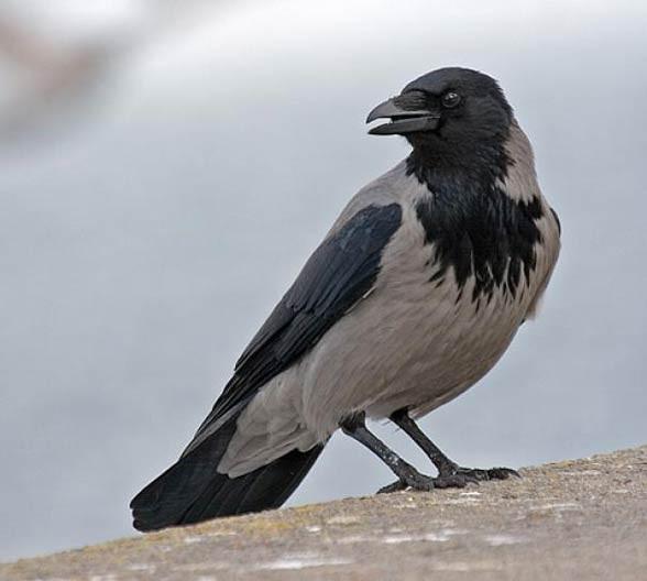 Wrona siwa, wrona (Corvus cornix)