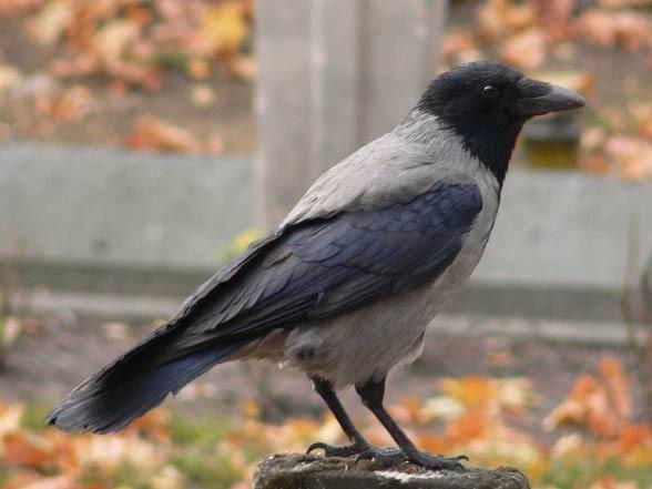 Wrona siwa, wrona (Corvus cornix).