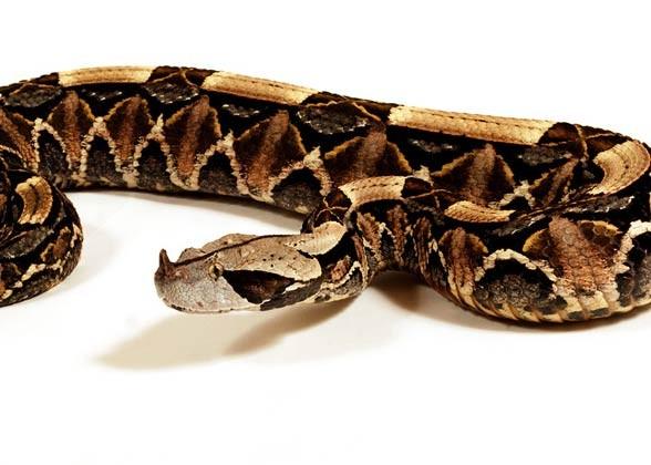 Żmija gabońska (Bitis gabonica)