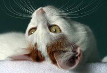 Photo of Kot japoński bobtail – symbol szczęścia