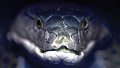 Photo of Kobry – węże budzące strach
