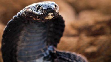 Photo of Kobra czarnoszyja, plująca (Naja nigricollis)