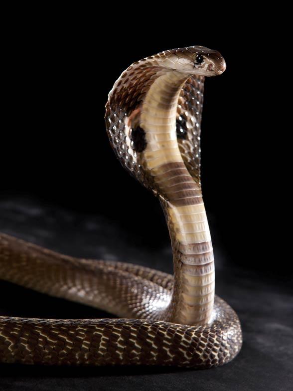 Kobra