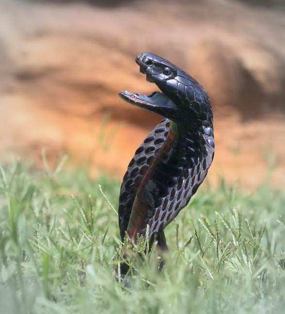 Kobra czarnoszyja, plująca (Naja nigricollis)