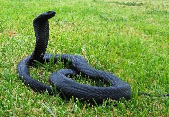 Kobra czarnoszyja, plująca (Naja nigricollis).