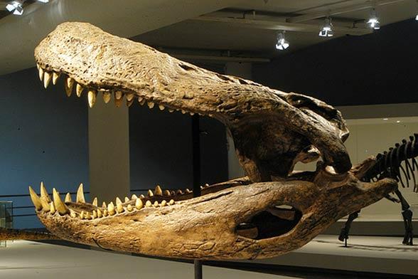 588 x 392 jpeg 47kBPurussaurus
