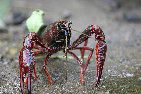 Rak luizjański (Procambarus clarkii)