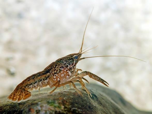 Rak marmurkowy (Procambarus fallax)