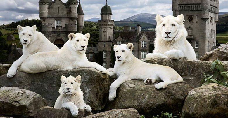 Photo of Białe lwy