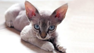Photo of Devon rex – kot jak elf