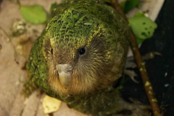 Kakapo (Strigops habroptila).
