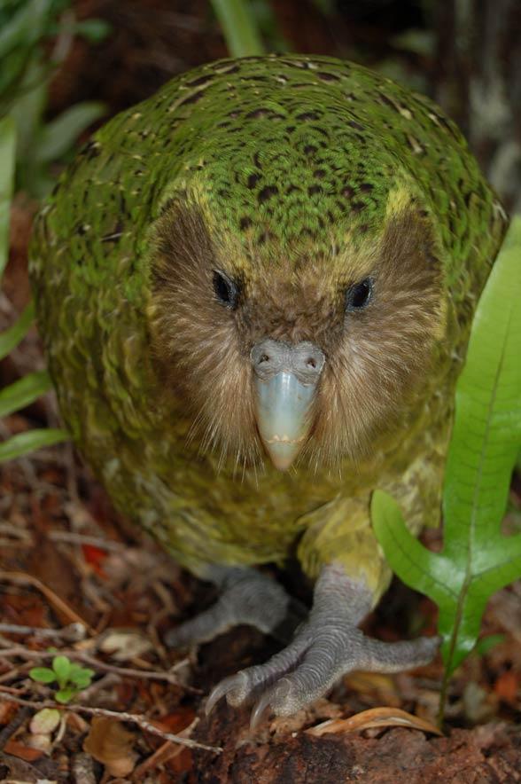 Kakapo (Strigops habroptila)