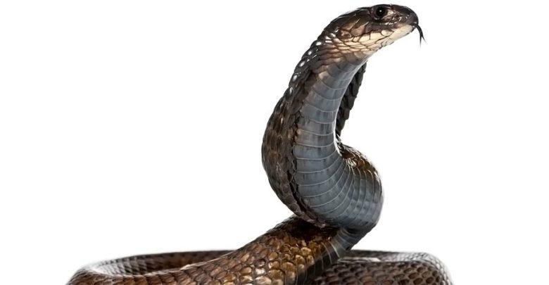 Photo of Kobra egipska czyli wąż Kleopatry