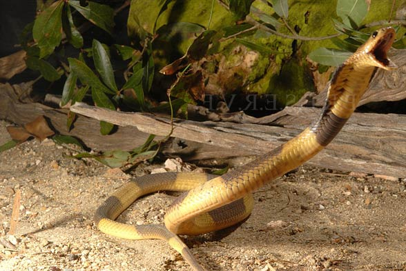 Kobra egipska, wąż Kleopatry (Naja haje).