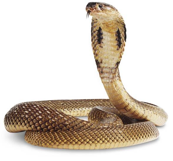 Kobra egipska, wąż Kleopatry (Naja haje)