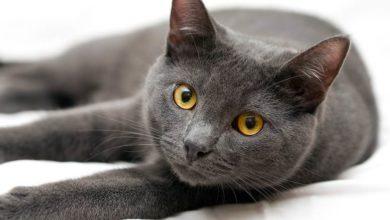 Photo of Korat – intrygujący kot