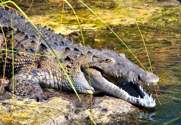 Krokodyl amerykański (Crocodylus acutus).