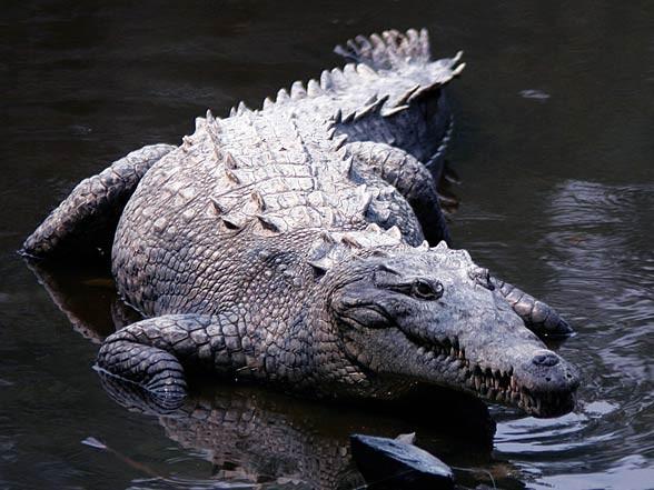 Krokodyl amerykański (Crocodylus acutus)