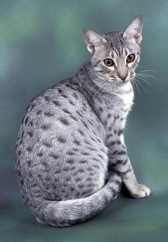 Ocicat Kot Podobny Do Ocelota Dinoanimalspl