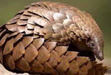 Photo of Pangolin (łuskowiec) gruboogonowy – pancerny ssak