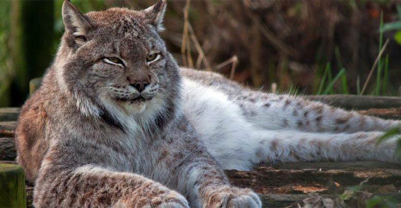 Photo of Ryś kanadyjski (Lynx canadensis)