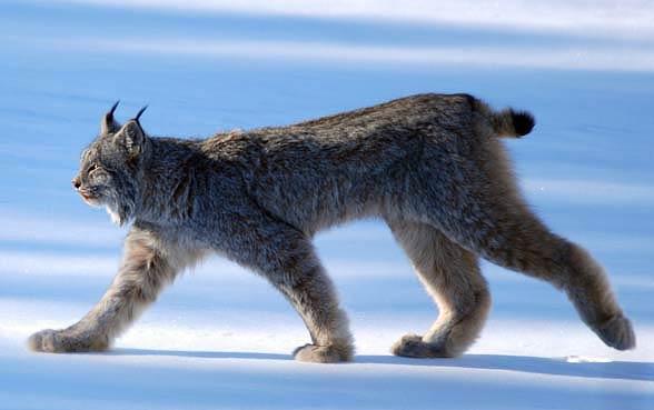 Ryś kanadyjski (Lynx canadensis).