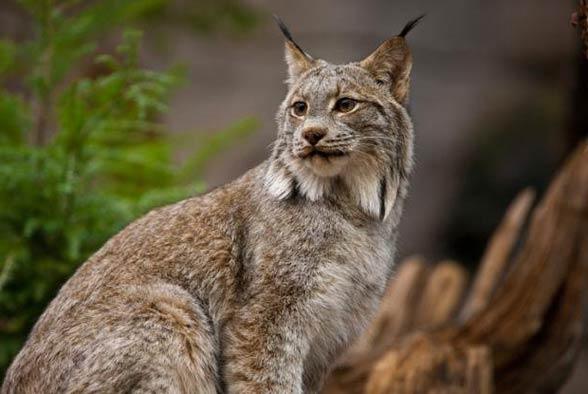 Ryś kanadyjski (Lynx canadensis)