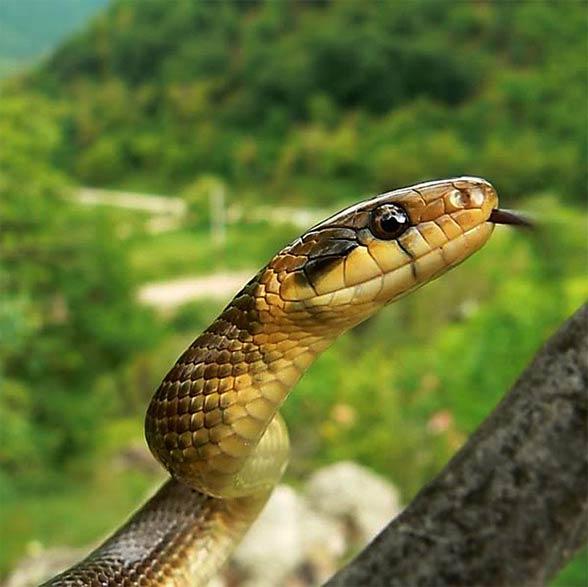 Wąż Eskulapa (Zamenis longissimus)