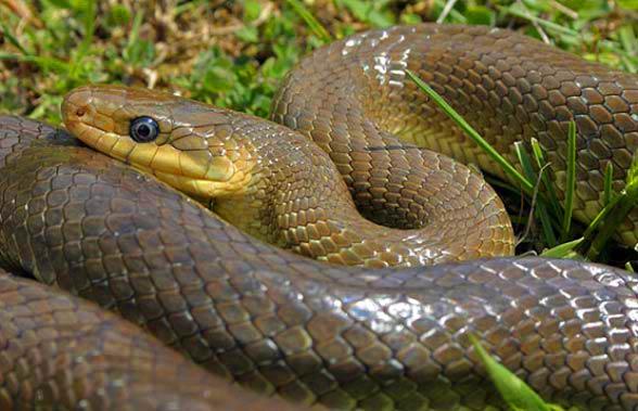 Wąż Eskulapa (Zamenis longissimus).