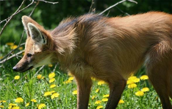 Wilk grzywiasty (Chrysocyon brachyurus).