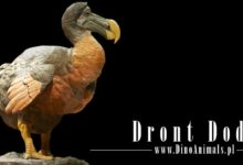 Photo of Dront dodo (Raphus cucullatus)