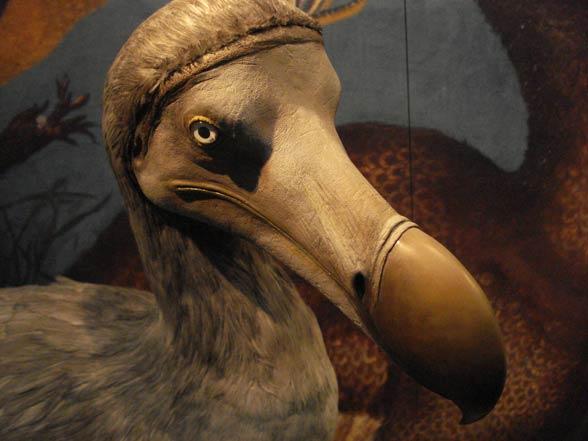 Dront dodo, dodo (Raphus cucullatus).