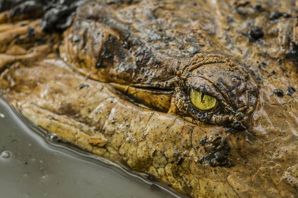 Krokodyl orinokański (Crocodylus intermedius)