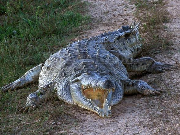 Krokodyl orinokański (Crocodylus intermedius).