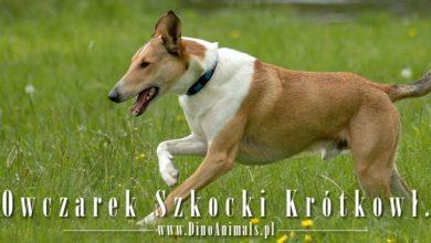 Photo of Owczarek szkocki collie krótkowłosy