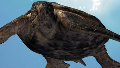 Photo of Archelon ischyros – największy znany żółw