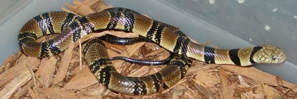 Kobra wodna (Naja annulata / Boulengerina annulata).