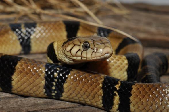 Kobra wodna (Naja annulata)
