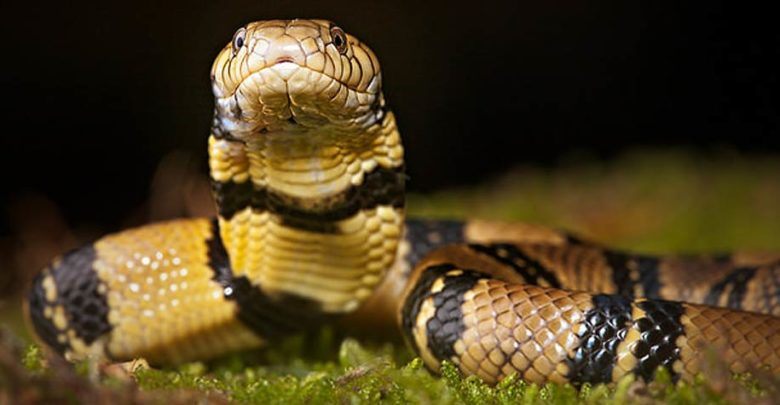 Photo of Kobra wodna (Naja annulata)